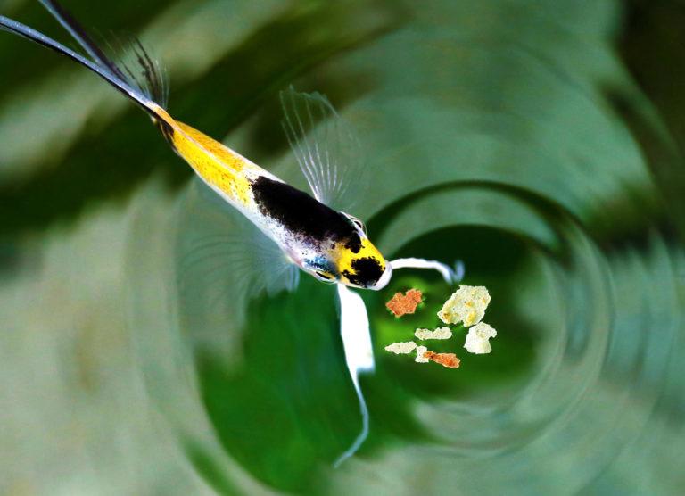 ryba v jezeru s krmivem