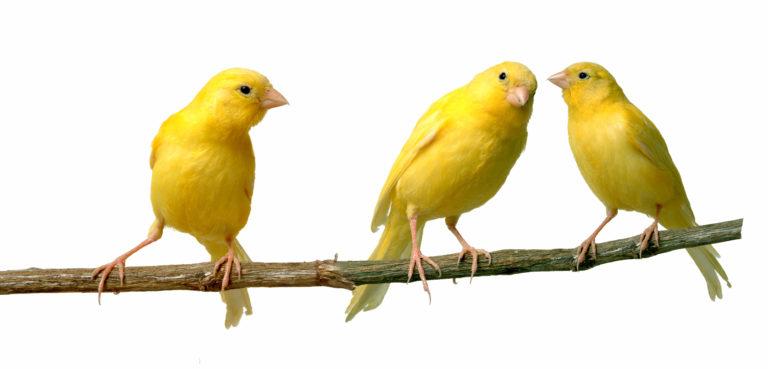 tři kanárci na větvi