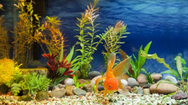 zlatá rybka v akváriu