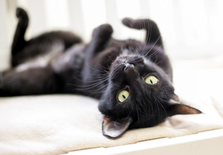 černá kočka na zádech