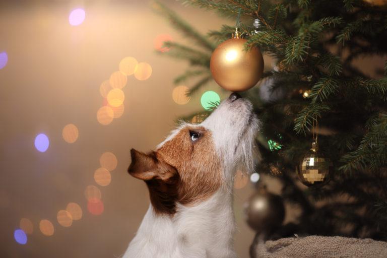 Pes čichá ke zlaté baňce na vánočním stromku