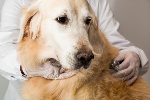 Zlatý retrívr u veterináře
