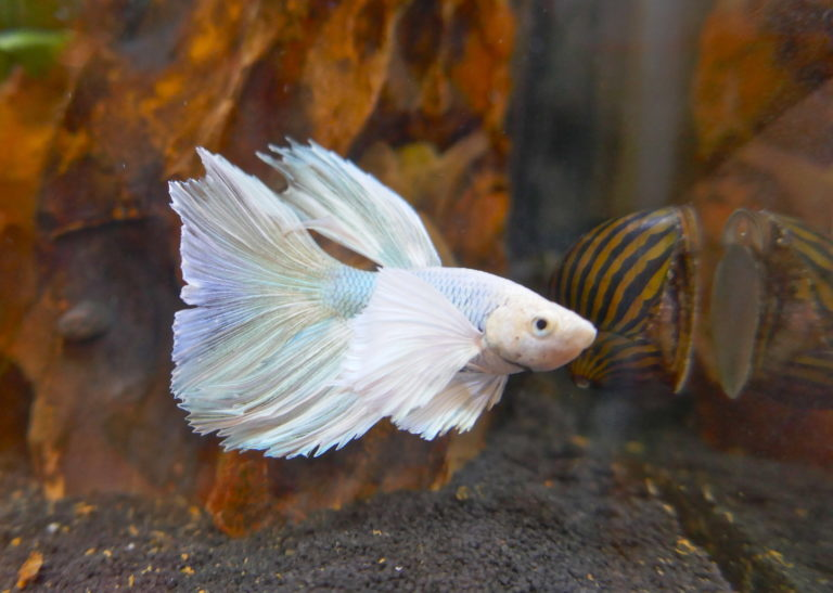 bílá bojovnice ryba