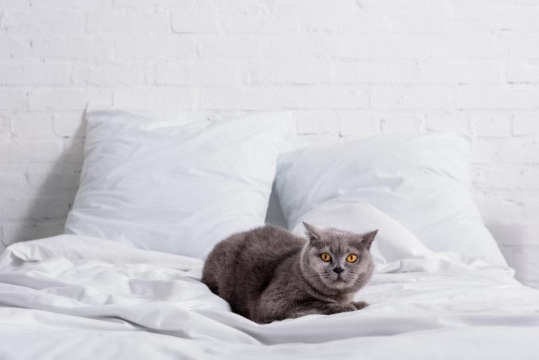 britská kočka v posteli
