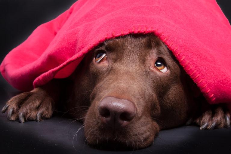 Hnědý labrador pod dekou