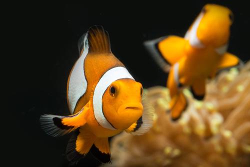 Klauni ryba