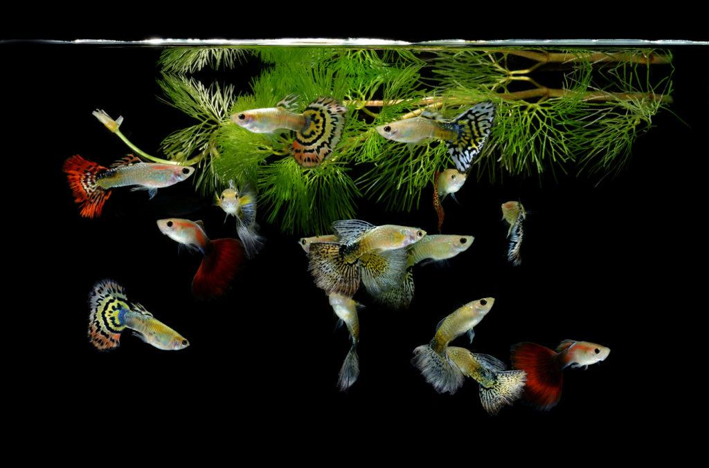 akvárium s pavími očky