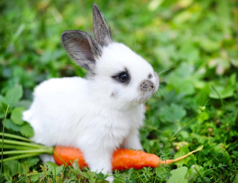 kralíček s mrkví