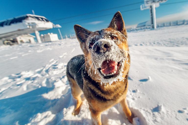 Německý ovčák ve sněhu