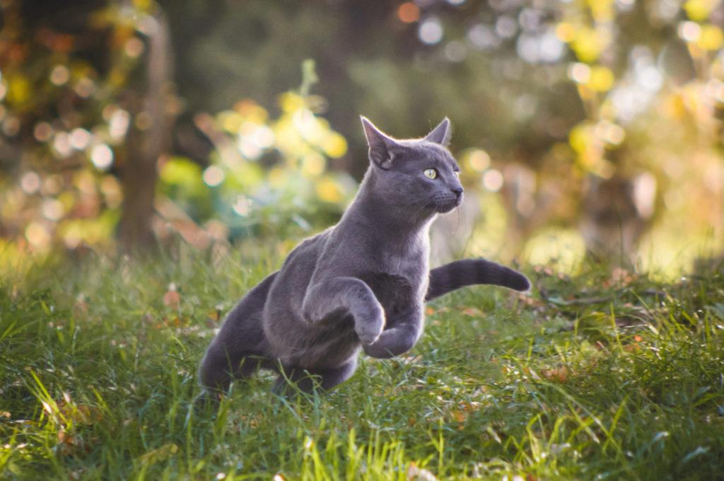 běžící modrá kočka v trávě