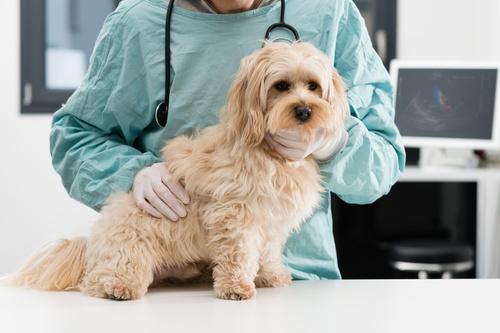 havanský psík u veterináře