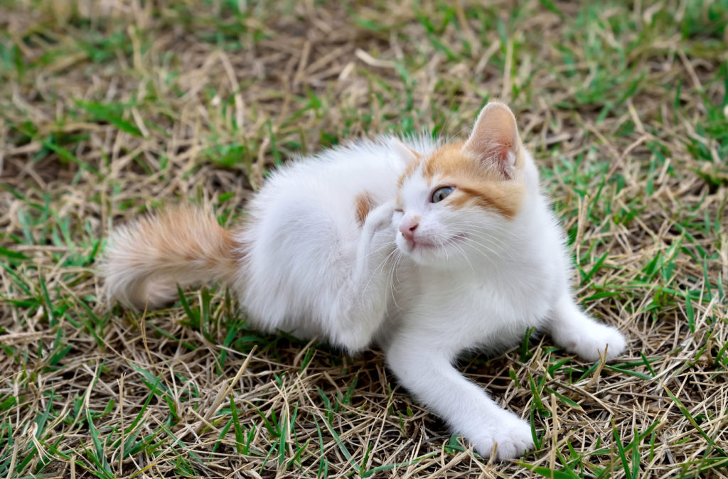 kočka se škrabe za uchem