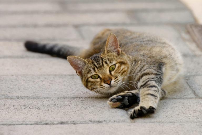 kočka tygřík se protahuje