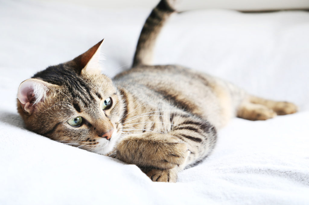 Kočky Domácí jsou si, navzdory dlouhému období domestikace.
