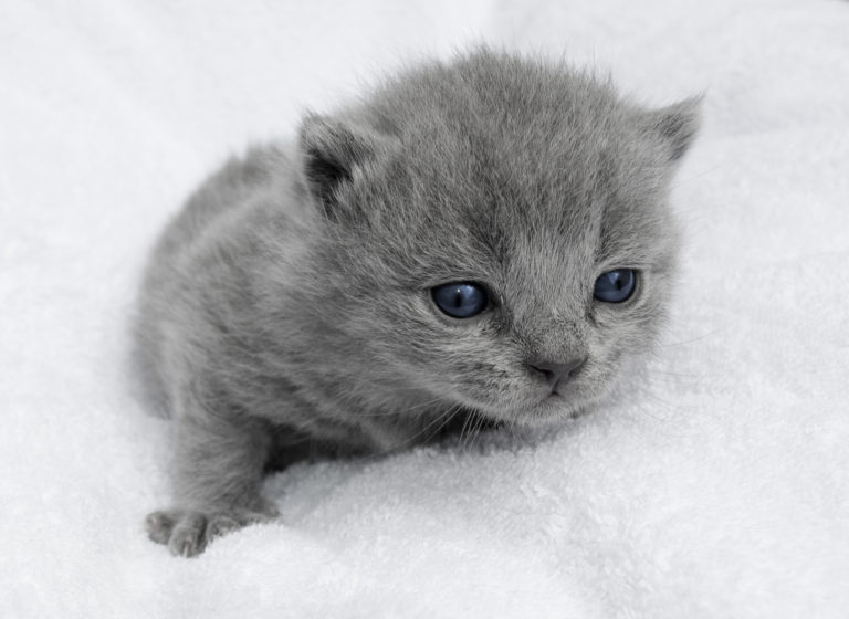 malé koťátko britské modré kočky