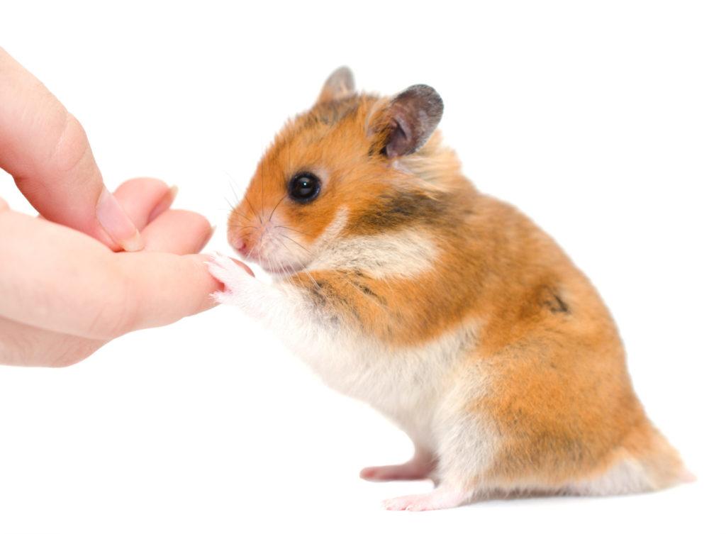 Křeček se dotýká packou lidské ruky