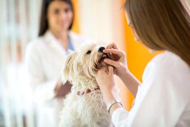 Kontrola zubů maltézského psa