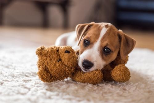 štěně jacka russela s plyšovou hračkou