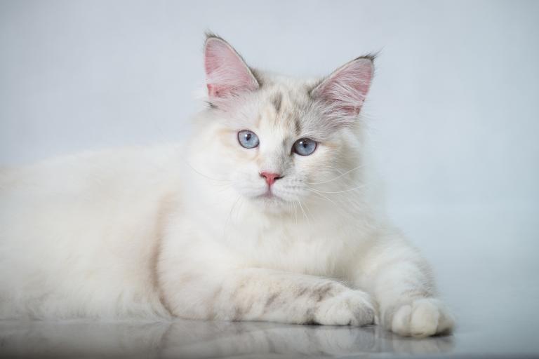 Bílá sibiřská kočka