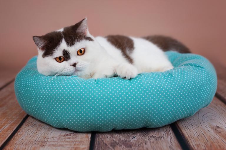 Kočka leží na modrém pelíšku