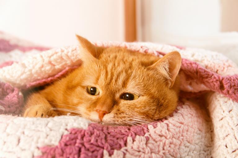 Kočka pod růžovou dekou