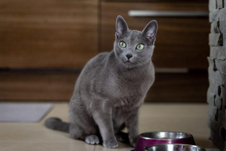 Ruská modrá kočka sedí u misky