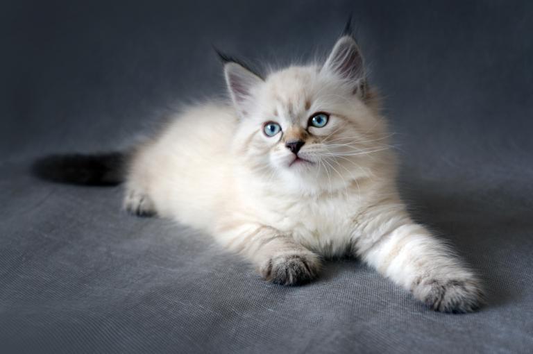 kotě sibiřské kočky