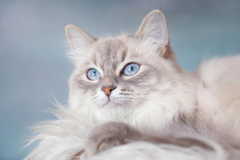 Neva Masquerade s modrýma očima