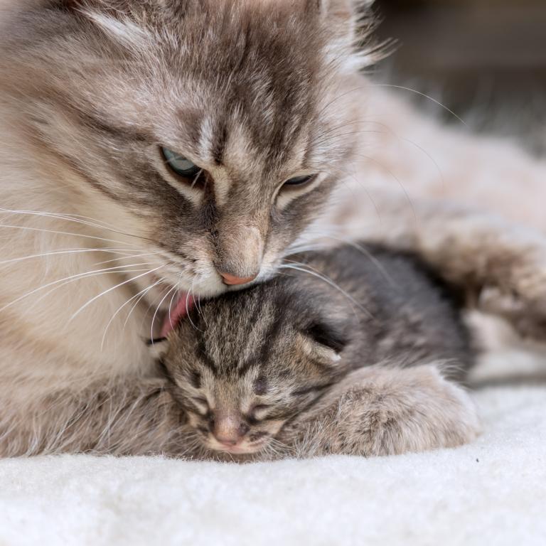 kočka líže hlavičku kotěte