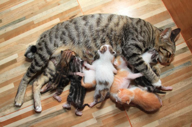 kočka krmí svá koťata