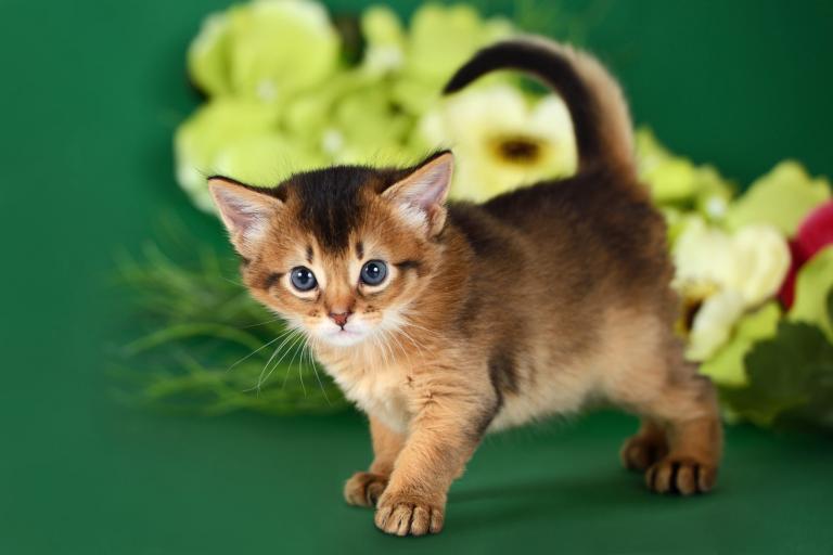 Kotě somálské kočky