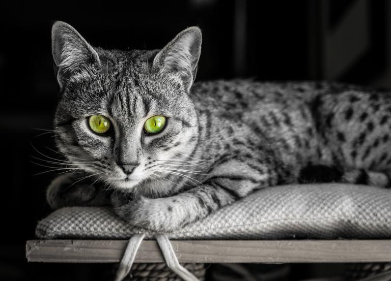 Ležící egyptská mau kočka