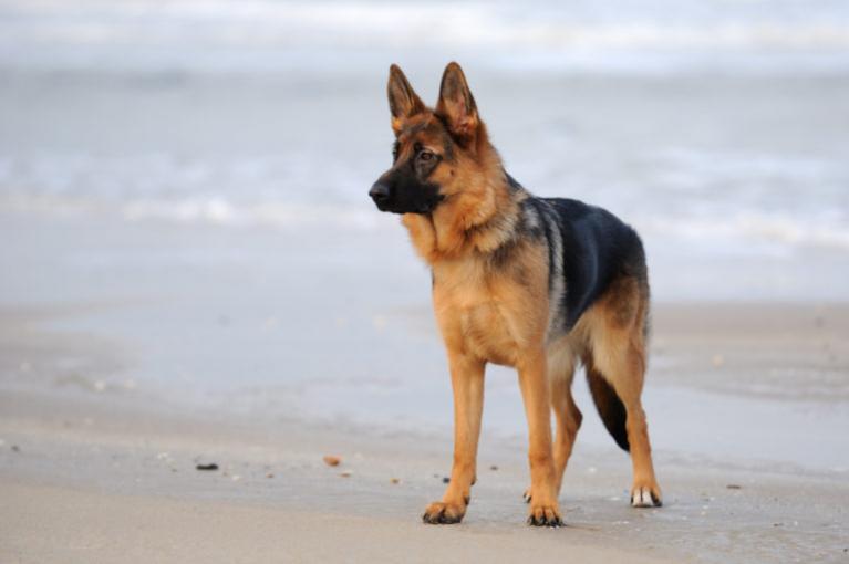 Německý ovčák na pláži