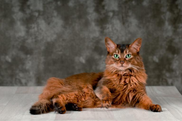 Somálská kočka leží na podlaze
