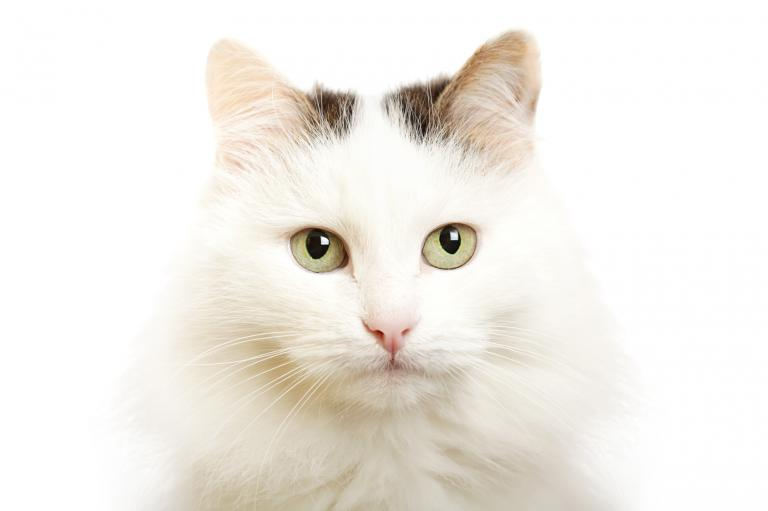 Turecká van kočka