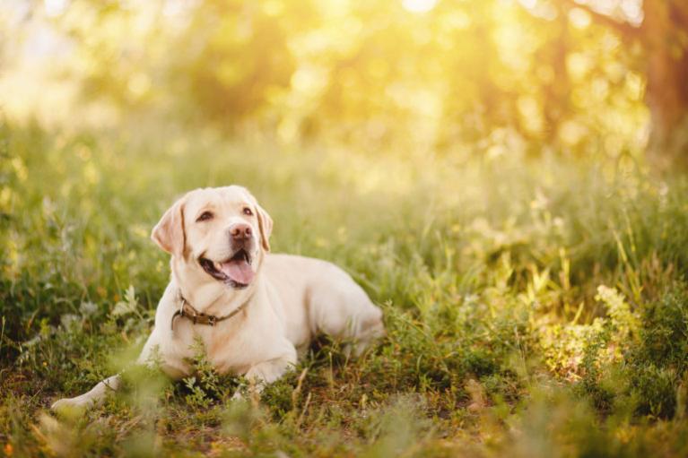 Zlatý labrador v trávě