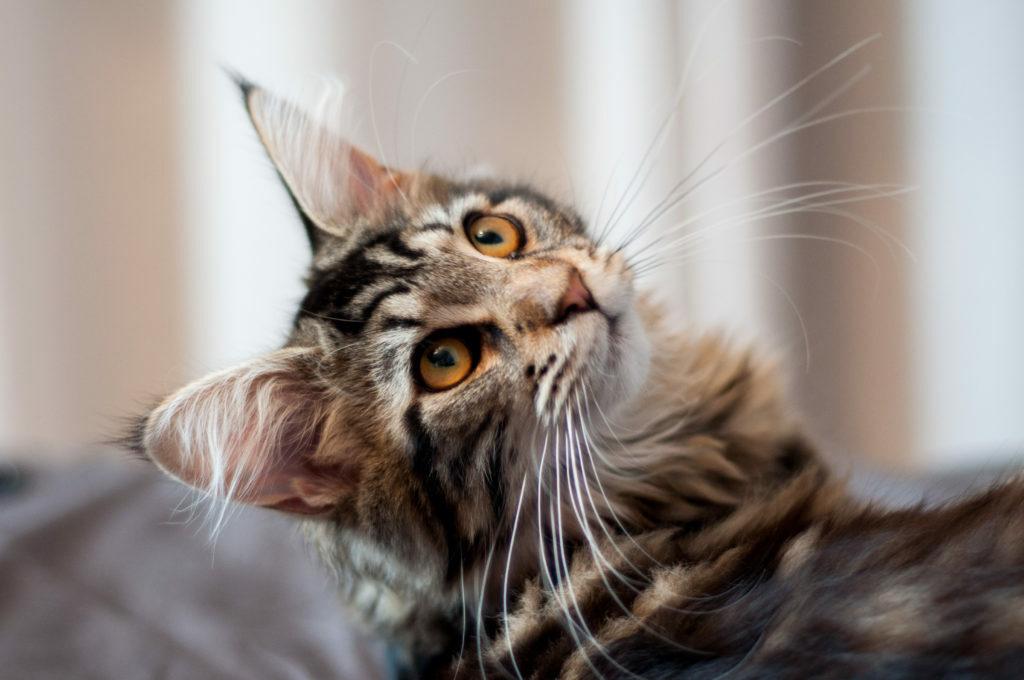 Maine Coon kočka