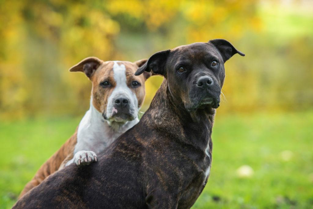 2 psi amerického stafordšírského teriéra