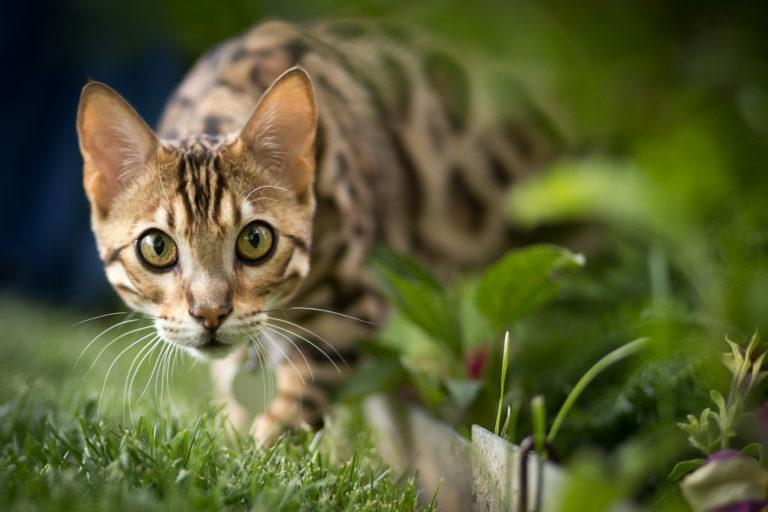 Bengálská kočka na zahradě