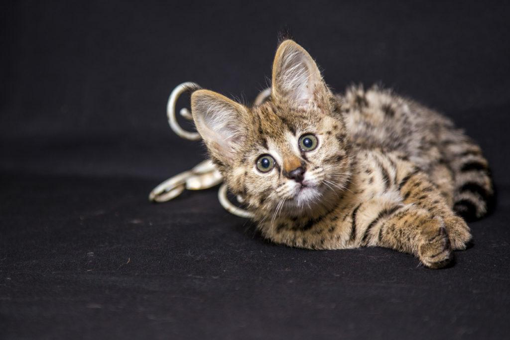 Ležící kotě savanské kočky