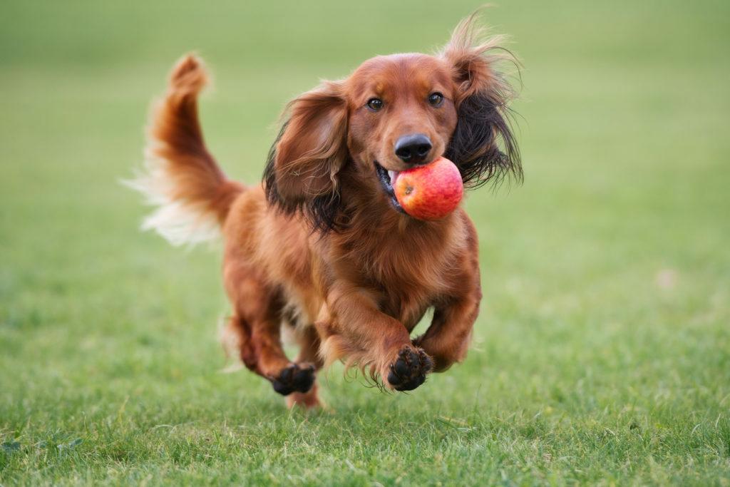 Běžící jezevčík s jablíčkem
