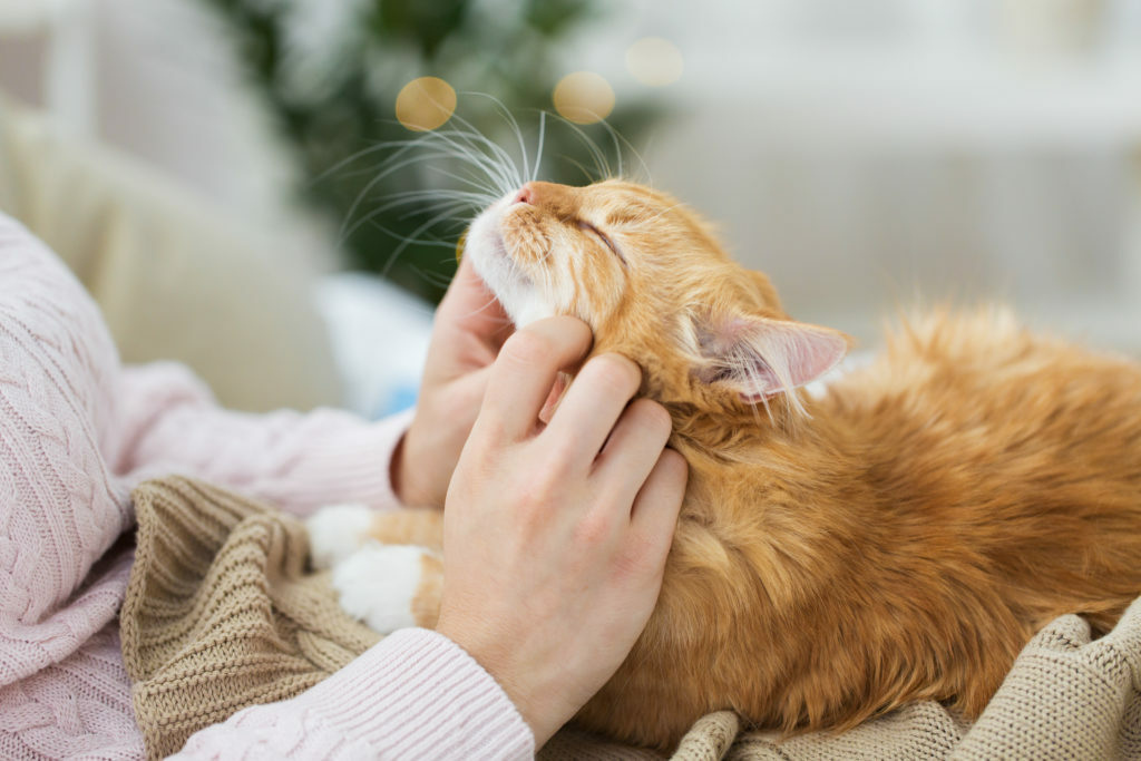 Hlazení pod kekem rezavé vrnící kočky