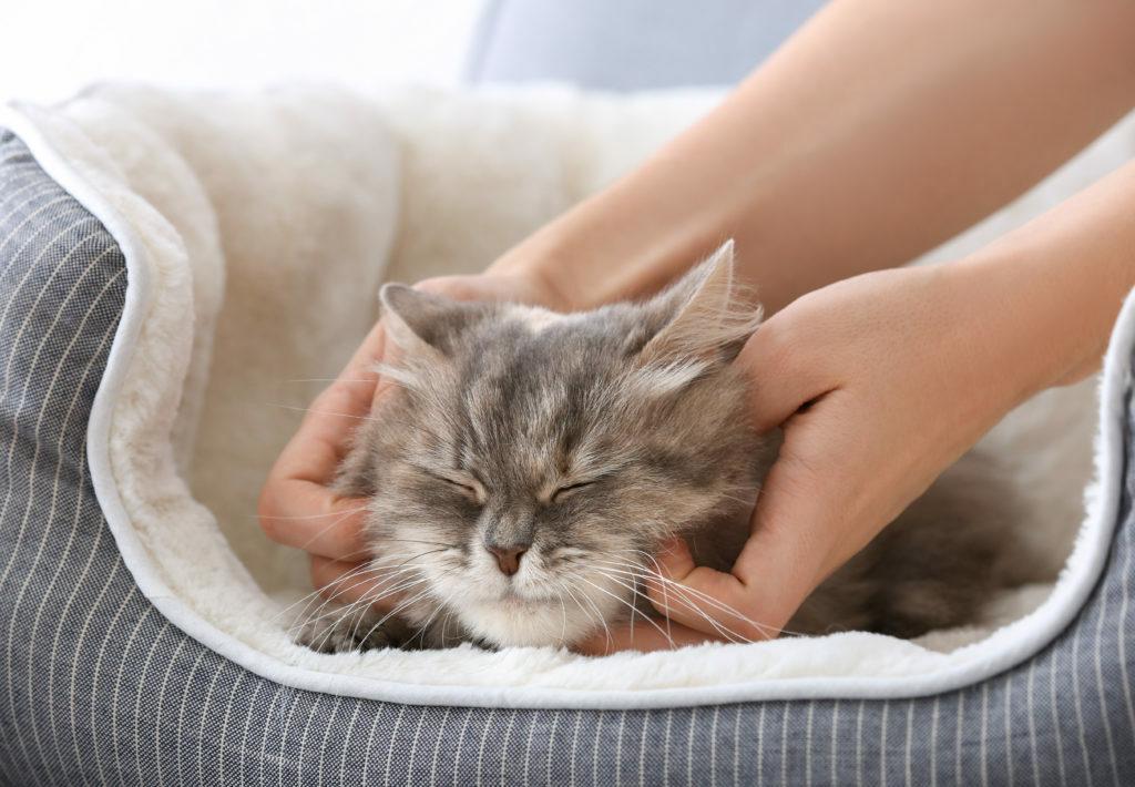 Hlazení vrnící kočky v pelíšku