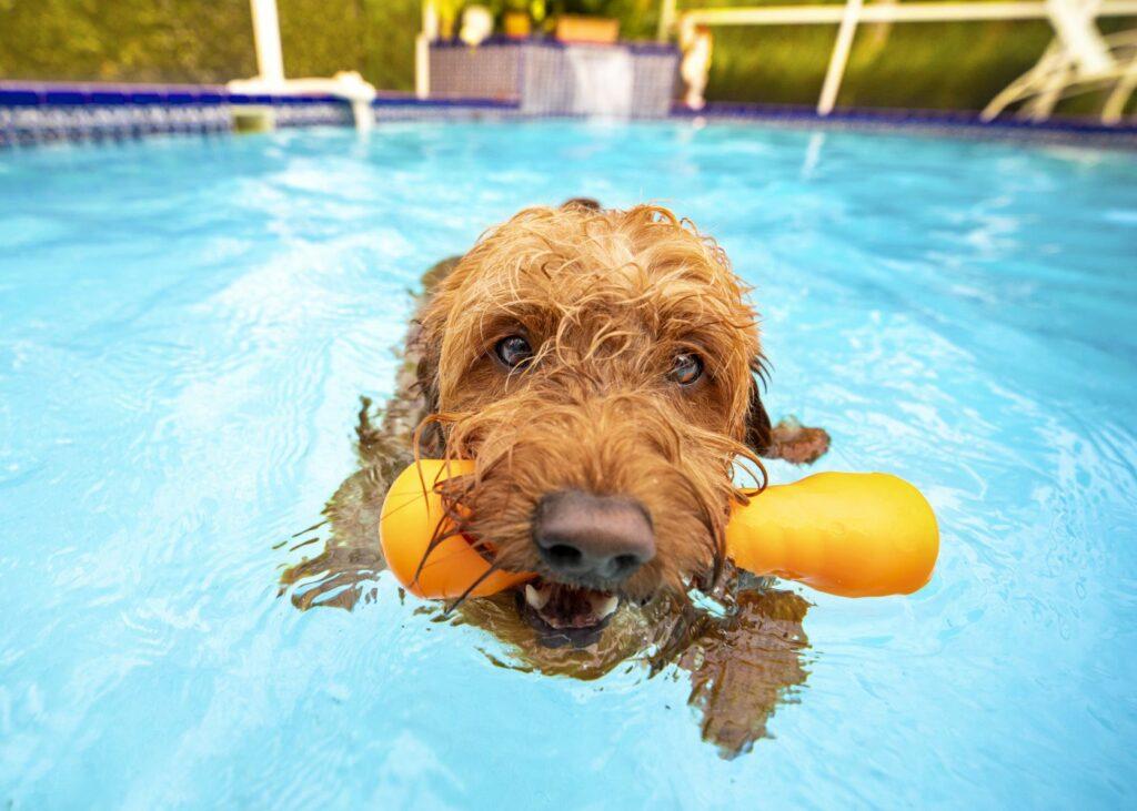 Golden doodle s hračkou v bazénu