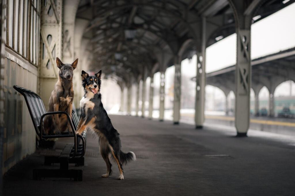Psi na vlakovém nástupišti