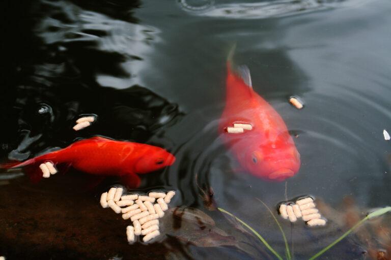 Krmení zlatých rybek v zahradním jezírku