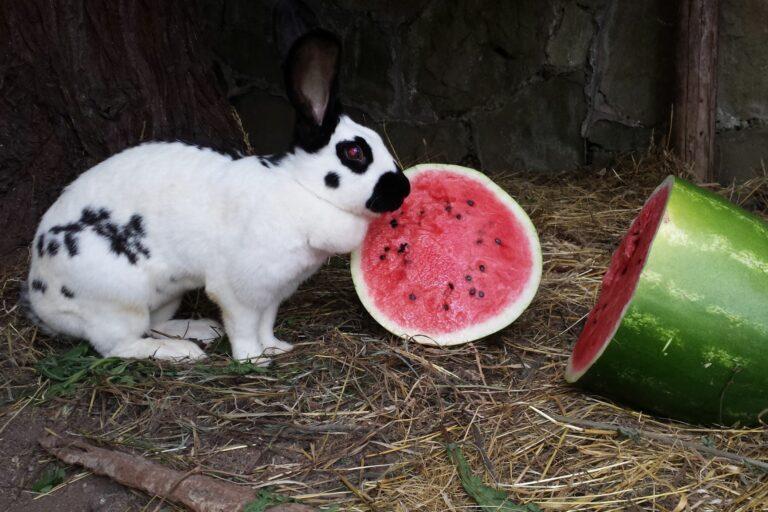Deutscher Riesenschecken mit Wassermelone