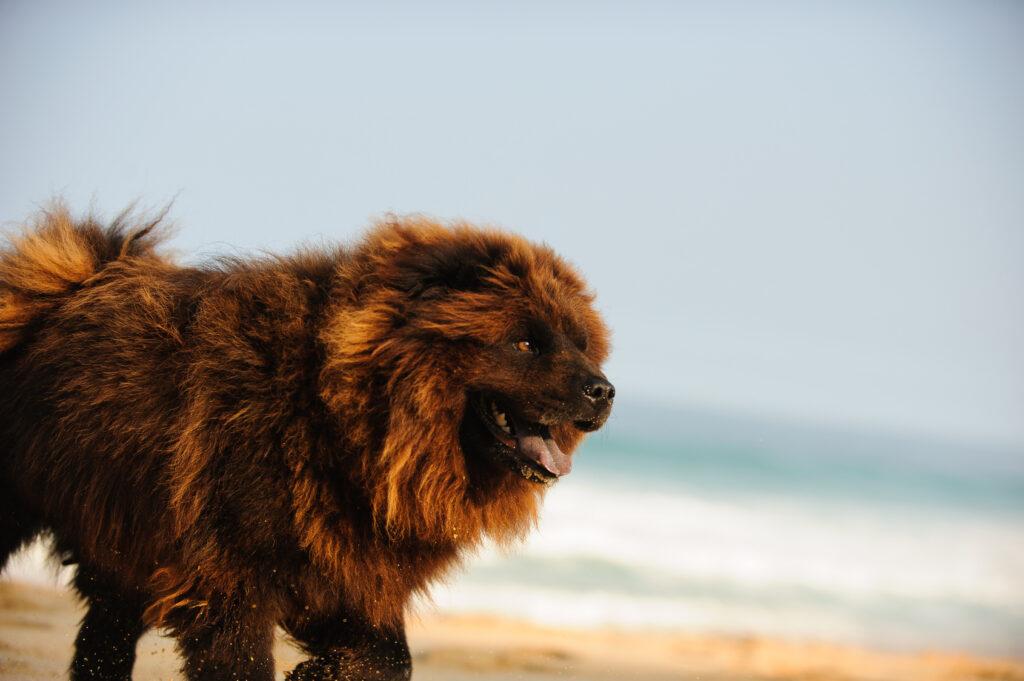 Hnědý Chow-chow (Čau-čau) u moře