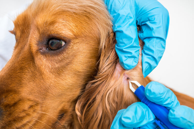 Lymská borelióza u psů