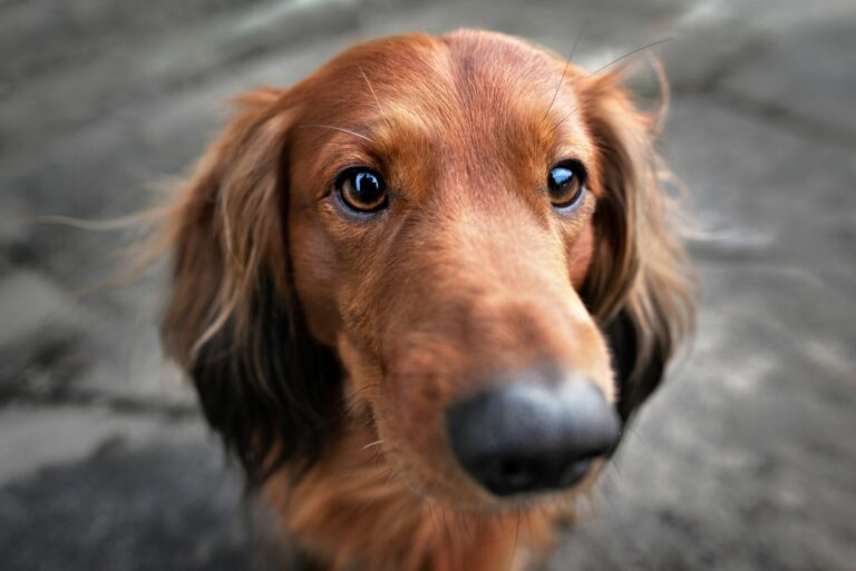 Jezevčík s tmavýma očima se dívá do kamery